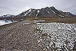 Bumsebu, Svalbard