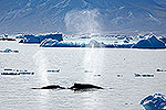 Humpback whales amongst ice