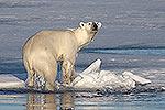 Polar Bear climbing onto ice