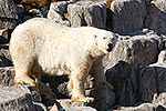 Very large Polar Bear on Monumental Island, Canadian Arctic