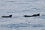Long finned Pilot whales at sea