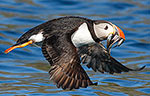 Fully laden Puffin!