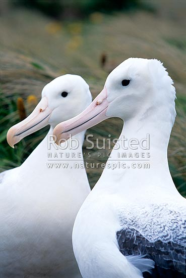 Southern Royal albatross (Diomedea e. epomophora) pair, Campbell Island, NZ Sub Antarctic District, NZ Sub Antarctic Region, New Zealand (NZ) stock photo.
