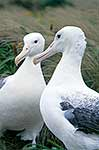 Southern  Royal albatross pair