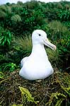Southern Royal albatross nesting