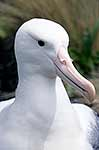 Southern Royal albatross closeup