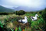 Albatross pair, Campbell Island