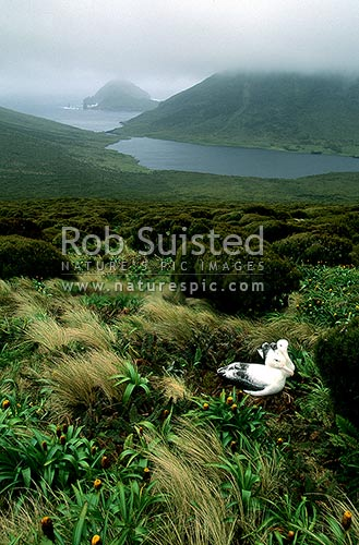 Southern. Royal albatross (Diomedea e. epomophora) above Six foot Lake and Monument Harbour, Campbell Island, NZ Sub Antarctic District, NZ Sub Antarctic Region, New Zealand (NZ) stock photo.
