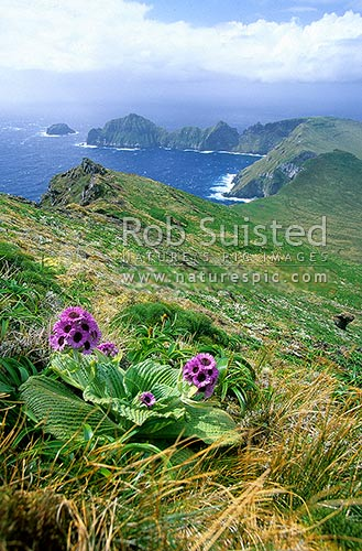 Courrejoilles Peninsula from Mount (Mt) Azimuth. Pleurophyllum speciosum in front, Campbell Island, NZ Sub Antarctic District, NZ Sub Antarctic Region, New Zealand (NZ) stock photo.