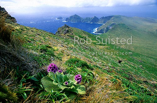 Courrejoilles Pen. and Hooker Valley, from Mount (Mt) Azimuth. Pleurophyllum speciosum in front, Campbell Island, NZ Sub Antarctic District, NZ Sub Antarctic Region, New Zealand (NZ) stock photo.