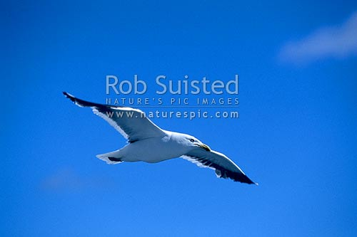 Black backed Gull (Larsus dominicanus) on the wing, Marlborough, New Zealand (NZ) stock photo.