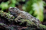 Tuatara lizard on a log