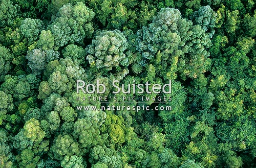 Aerial view of native forest canopy; Podocarp and cabbage trees, Carterton, New Zealand (NZ) stock photo.
