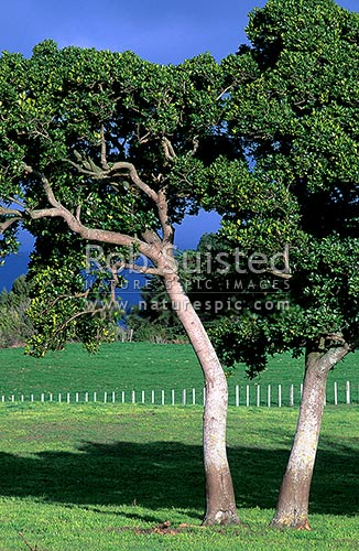 Karaka trees (Corynocarpus laevigatus), Levin, New Zealand (NZ) stock photo.