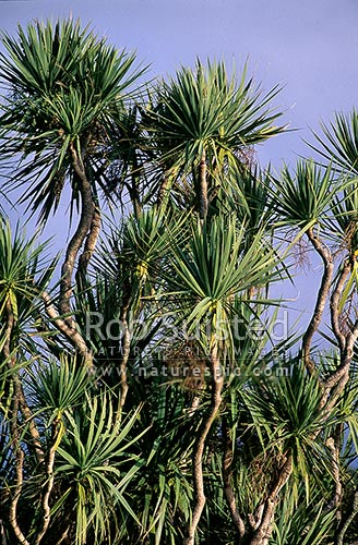 Native Cabbage tree (Cordyline australis), Levin, New Zealand (NZ) stock photo.