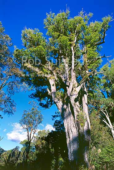 Large Matai tree (Prumnopitys taxifolia) in Kaimanawa Forest Park, Turangi, New Zealand (NZ) stock photo.