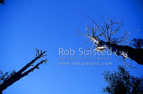 Standing dead tree spars; Kaimanawa Forest Park, Turangi, New Zealand (NZ) stock photo.