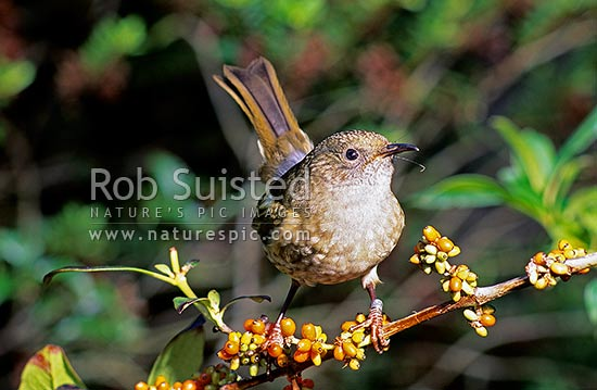 Female Stitchbird/Hihi (Notiomystis cincta) feeding on Coprosma berries, New Zealand (NZ) stock photo.