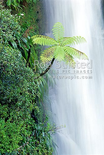 Waterfall falling past Mamaku black tree fern (Cyathea medullaris), Whanganui National Park, Wanganui District, Manawatu-Wanganui Region, New Zealand (NZ) stock photo.