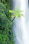 Waterfall fern