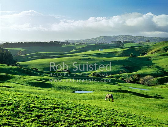 Early morning over lush Raglan farmland, Raglan, Waikato District, Waikato Region, New Zealand (NZ) stock photo.
