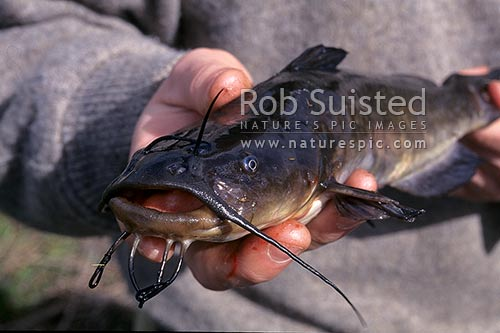 Catfish - significant freshwater fish pest species - Whanamarino wetland, Meremere, New Zealand (NZ) stock photo.