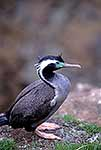 Spotted Shag, NZ endemic