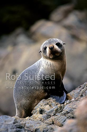 New Zealand Fur seal pup (Arctocephalus forsteri), Catlins, New Zealand (NZ) stock photo.