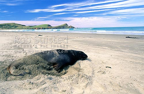 Sub adult male Hooker's (New Zealand) Sea lions (Phocartos hookeri) - Surat Bay, Catlins, Clutha District, Otago Region, New Zealand (NZ) stock photo.