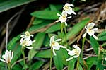 Native odd leaved orchids
