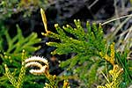 Native lycopodium