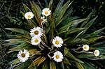 Mountain daisy, native