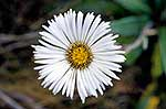 Native Daisy