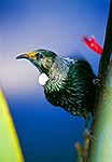 Native tui bird