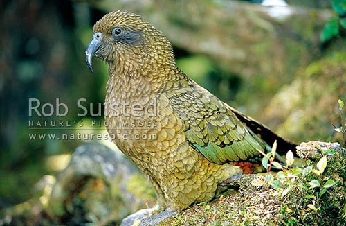 Kea (Nestor notabilis) in beech forest, Mount Aspiring National Park, New Zealand (NZ) stock photo.