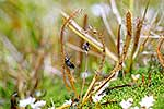 Insect trapped in Alpine Sundew