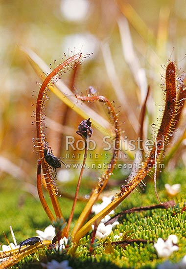 Alpine Sundew (Drosera arcturi); carnivorous plant. Insect trapped in the sticky hairs, Mount Aspiring National Park, New Zealand (NZ) stock photo.