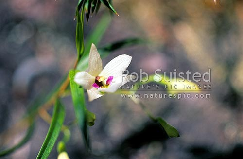 NZ native orchid (Winika cunninghamii). Used to be called Dendrobium cunninghamii, Milford Sound, Fiordland National Park, New Zealand (NZ) stock photo.