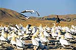 Flock of gannets and woman tourist