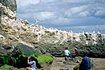 Visitors at gannet colony