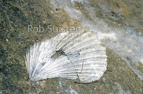 Old scallop shell embedded in the sandstone cliffs at Cape Kidnappers, Hawke's Bay, New Zealand (NZ) stock photo.