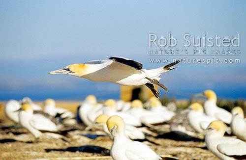 Gannet (Morus serrator / Sula serraor), or Takapu; coming into land; Summit colony; Cape Kidnappers, Hawke's Bay, Hastings District, Hawke's Bay Region, New Zealand (NZ) stock photo.