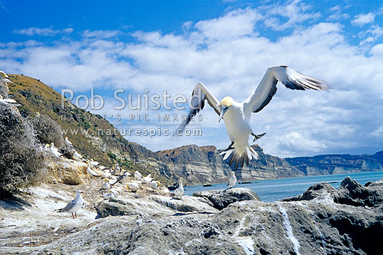 Gannet (Morus serrator / Sula serraor), or Takapu; coming into land; Black Reef colony; Cape Kidnappers, Hawke's Bay, Hastings District, Hawke's Bay Region, New Zealand (NZ) stock photo.