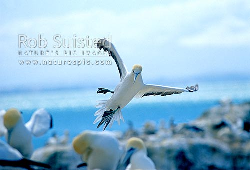 Gannet (Morus serrator / Sula serraor), or Takapu; coming into land; Black Reef colony; Cape Kidnappers, Hawke's Bay, New Zealand (NZ) stock photo.