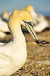 Gannet carrying nesting material