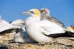Gannet with chick at nest