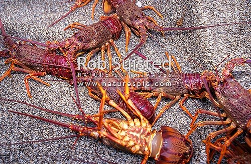 Freshly caught Crayfish (Rock Lobster - Jasus edwardsii ...