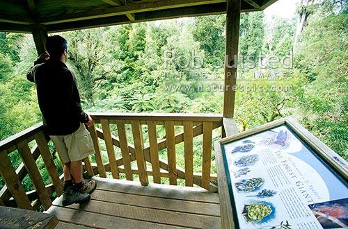 Looking out from the Forest observation tower for visitors to view birds and tree canopy etc, Pureora Forest Park, Waitomo District, Waikato Region, New Zealand (NZ) stock photo.