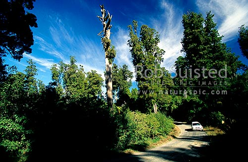Tall Podocarp forest towering over the Link Road, Pureora Forest Park, Waitomo District, Waikato Region, New Zealand (NZ) stock photo.