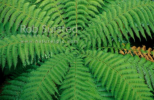 Looking onto the crown of a soft tree fern (Cyathea smithii), Pureora Forest Park, New Zealand (NZ) stock photo.